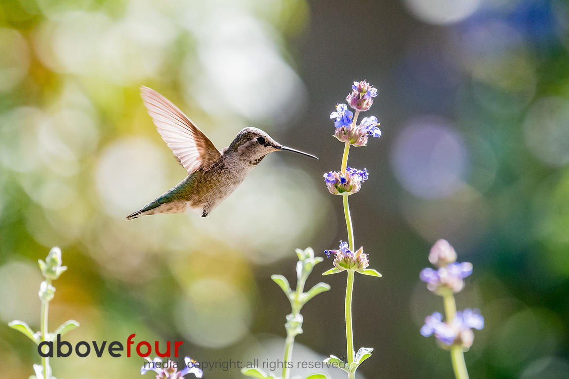 A Hummingbird enjoys an afternoon drink of Purple Sage nectar.
