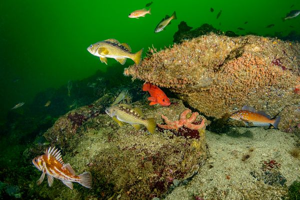 Multiple rockfish species in single image from Barkley Sound, Vancouver Island. Included in this scene are Copper, Yellowtail...