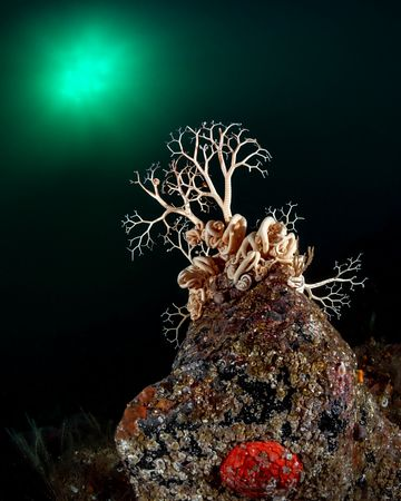 Basket Star on a rock in the dark depths with some of its branched arms outstretched to catch passing plankton.
