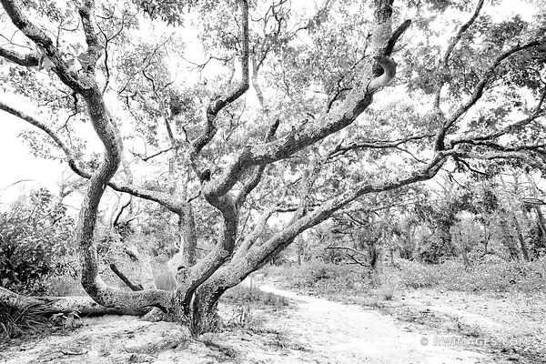 OAK TREE ASSATEAGUE ISLAND NATIONAL SEASHORE MARYLAND BLACK AND WHITE