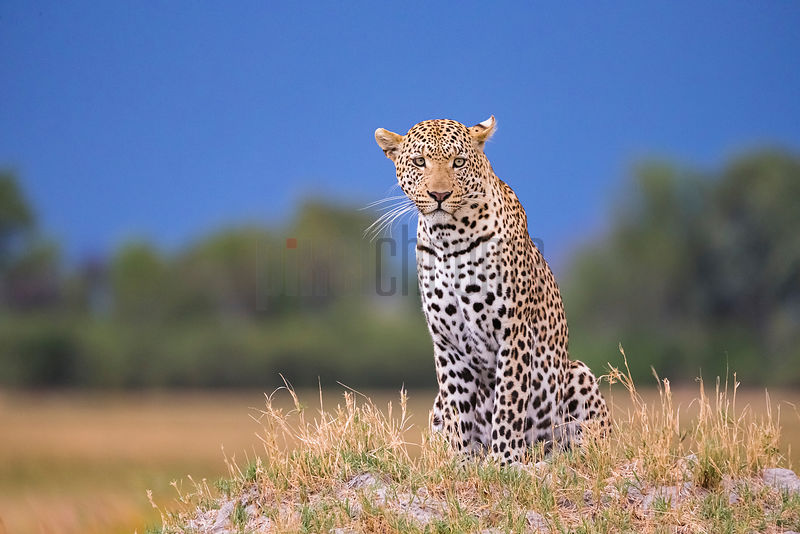 Portrait of a Leopard Sitting Upright on a Grassy Mound