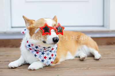 corgi wearing star glasses outdoors