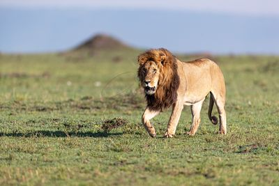 Large African Male Lion Walking in Kenya