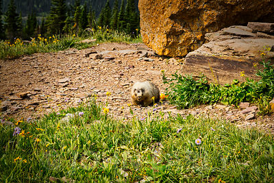 Marmot on Hidden Lake Trail #1