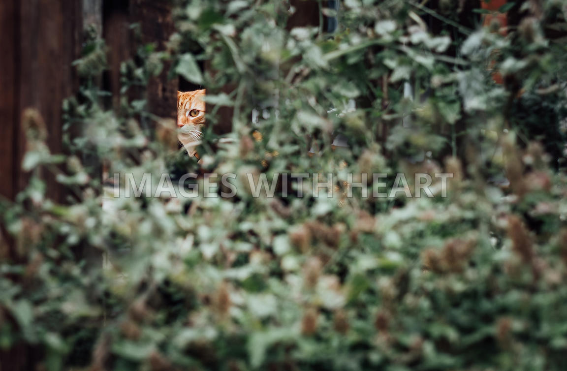 shy ginger cat peeping through a fence and bush