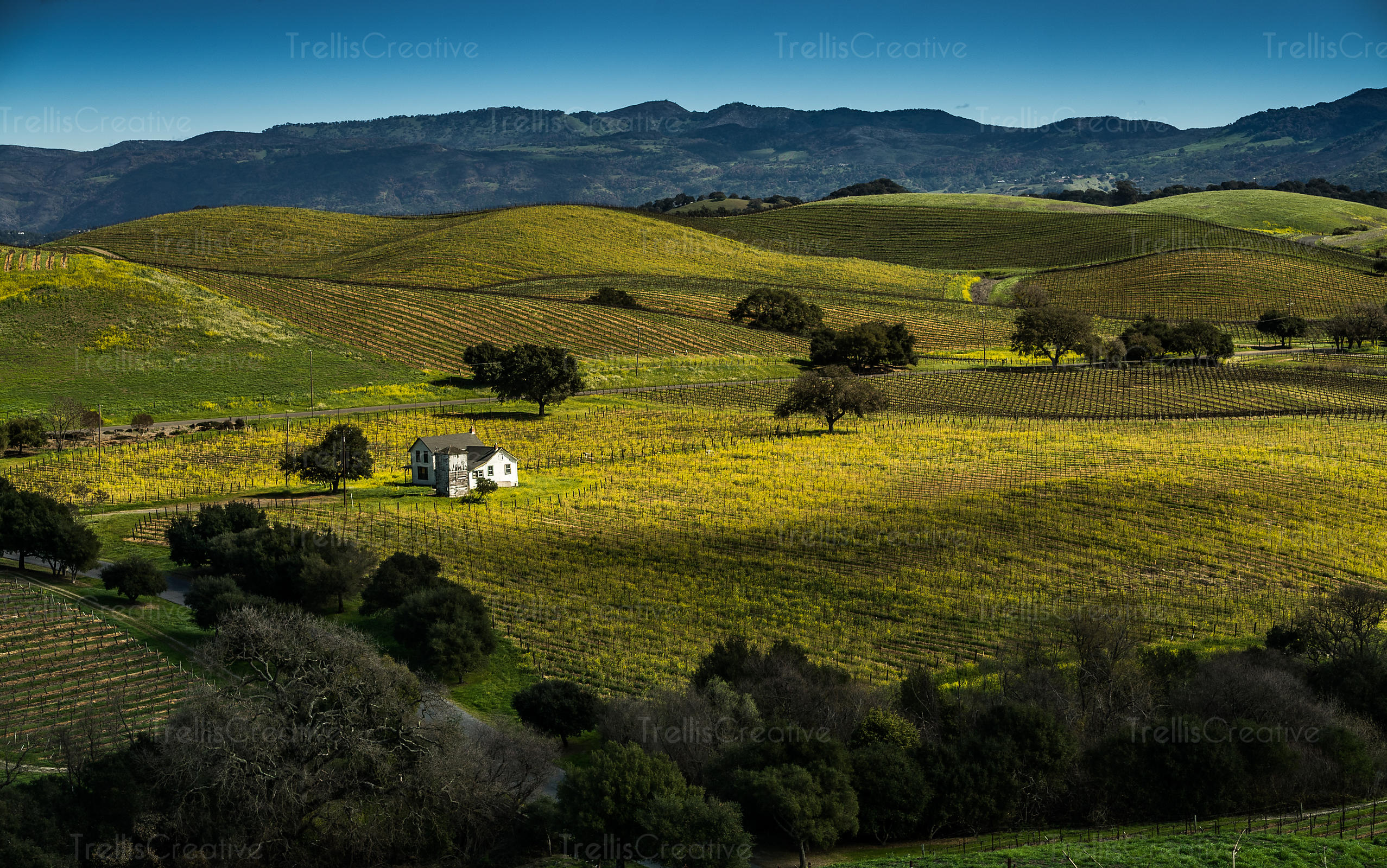 Undulating landscape, wine region, napa Valley, Napa County, California, USA.