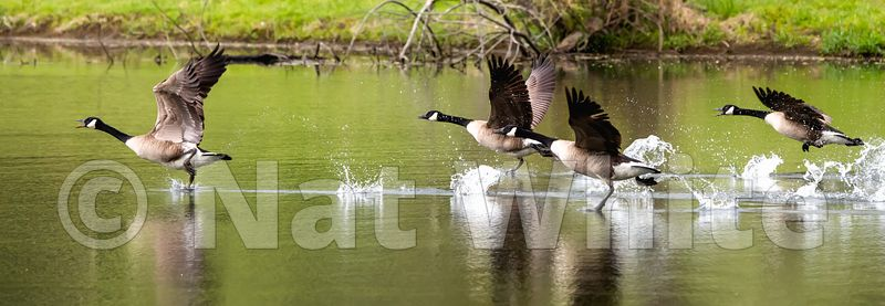 Goose_takeoff_May_04_2021_NAW1667NAT_WHITE