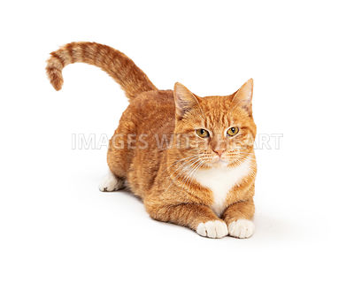 Orange and White Tabby Cat