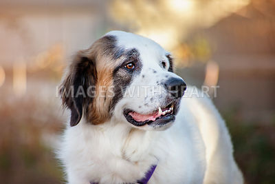 White Saint Bernard dog profile head shot looking to the right outdoors