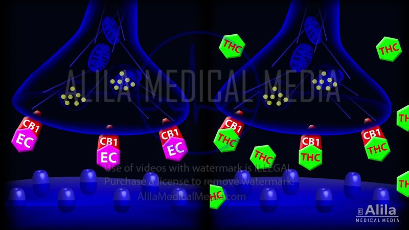 Marijuana - ECS and THC mechanism of action, animation.
