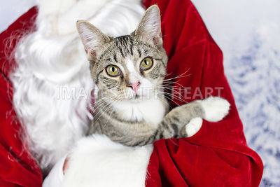 Tabby kitten in Santa's arms