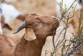 Close-up Profile of Brown Goat Grazing