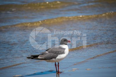 A Laughing Gull in Padre Island NS, Texas