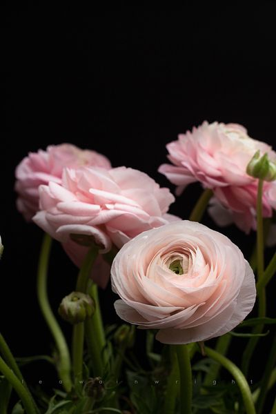 ranunculus on