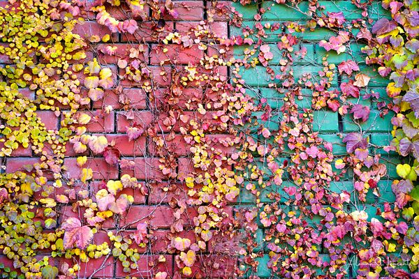 Brush_Street_Apt_Building_Ivy_Fall_Color