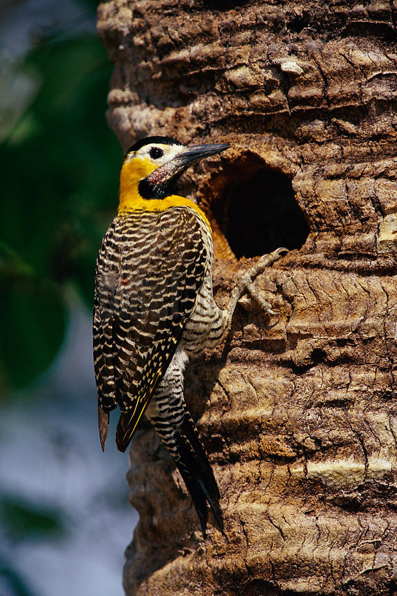 Campo Flicker at Nest