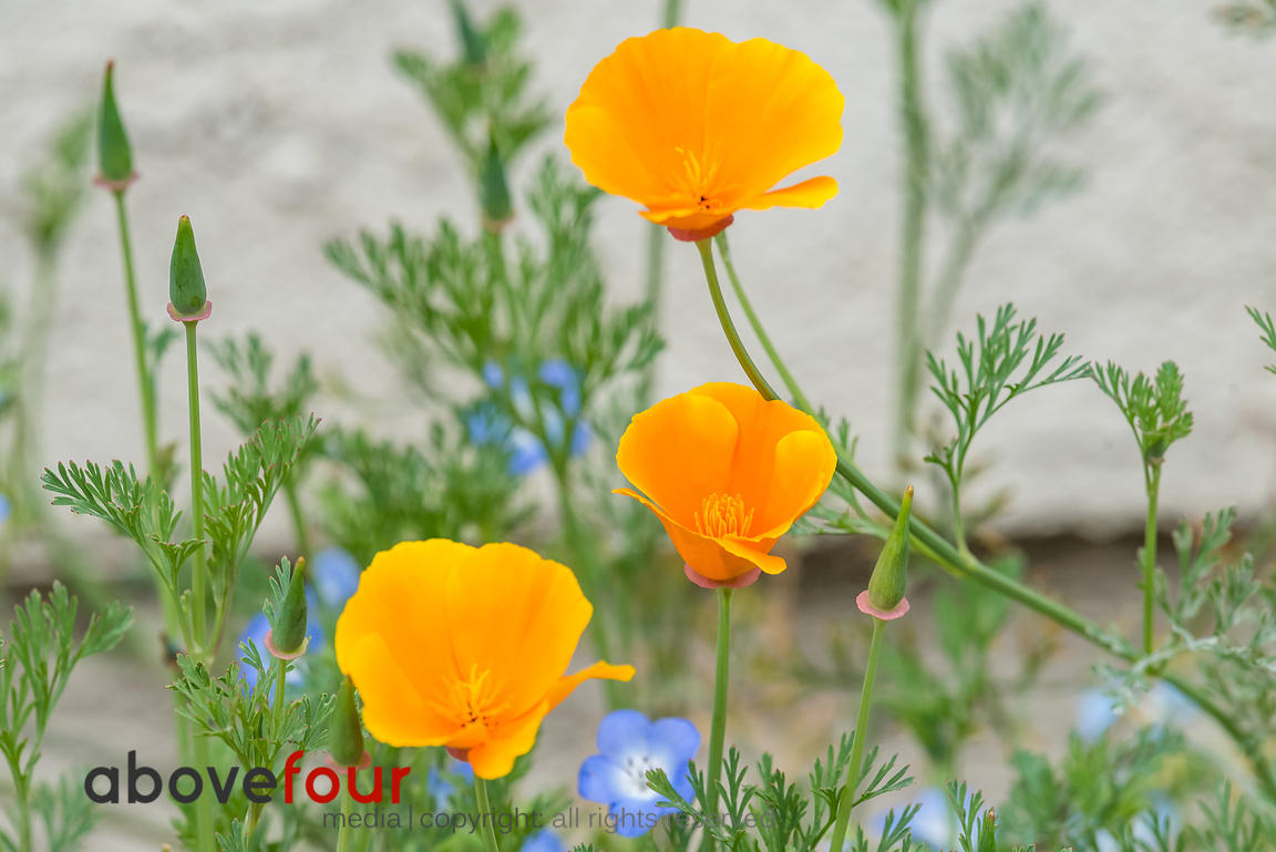 Three California Poppies.