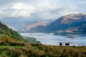 Goats Grazing- Western Highlands