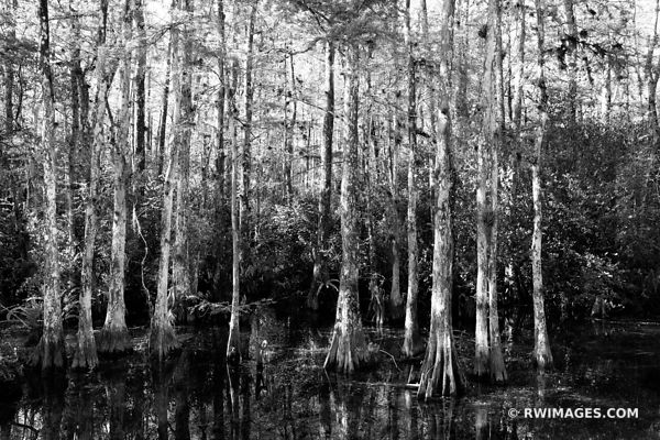 CYPRESS TREES SWAMP FOREST LOOP ROAD BIG CYPRESS NATIONAL PRESERVE EVERGLADES FLORIDA BLACK AND WHITE