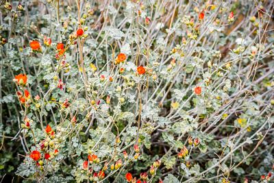 Field with colorful red orange Wildflowers in Palm Spring, California