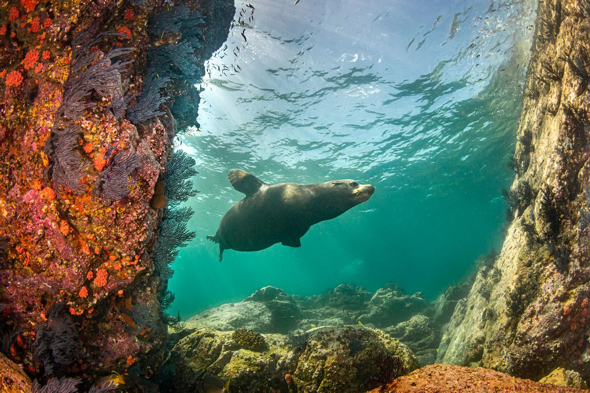 baja sea lion zalophus californianus