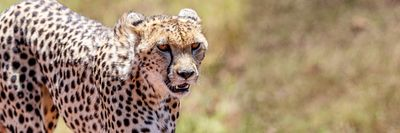 Cheetah in Africa Web Banner