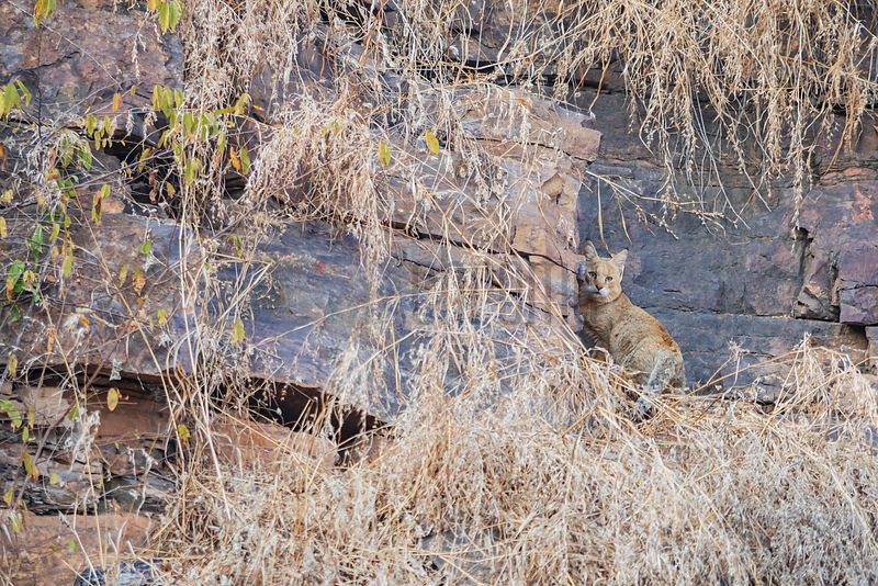 Jungle Cat  (Felis chaus) in Ranthambore National Park