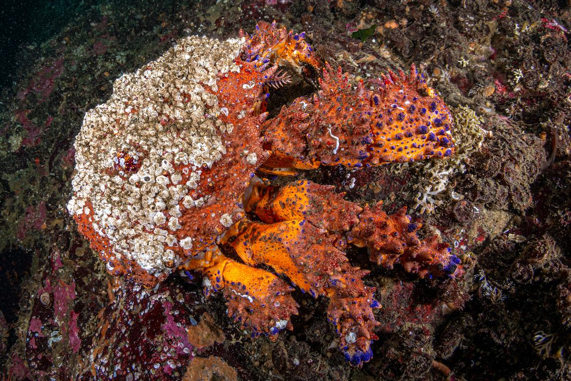 Large Puget Sound King Crab, Lopholithodes mandtii, with barnacles growing on its carapace.