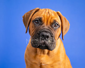 Close-up Studio Portrait Bull Mastiff Puppy on Blue