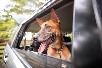 Excited dog looking out of car window