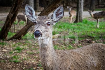 A White-Tailed Deer in Lake Hills, Texas