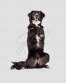Well Trained Border Collie Mix Breed Dog Begging