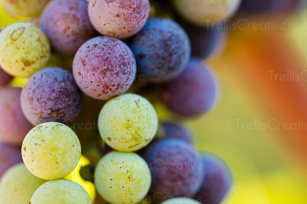 Cabernet sauvignon grape cluster changing colors during verasion
