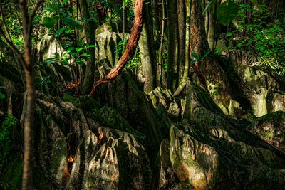 Rock Forest in Northland, New Zealand. Karst formations amid the lush jungle.