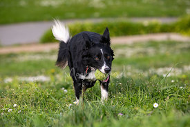 Close-up Action Shot of Border Collie Running with Tennis Ball
