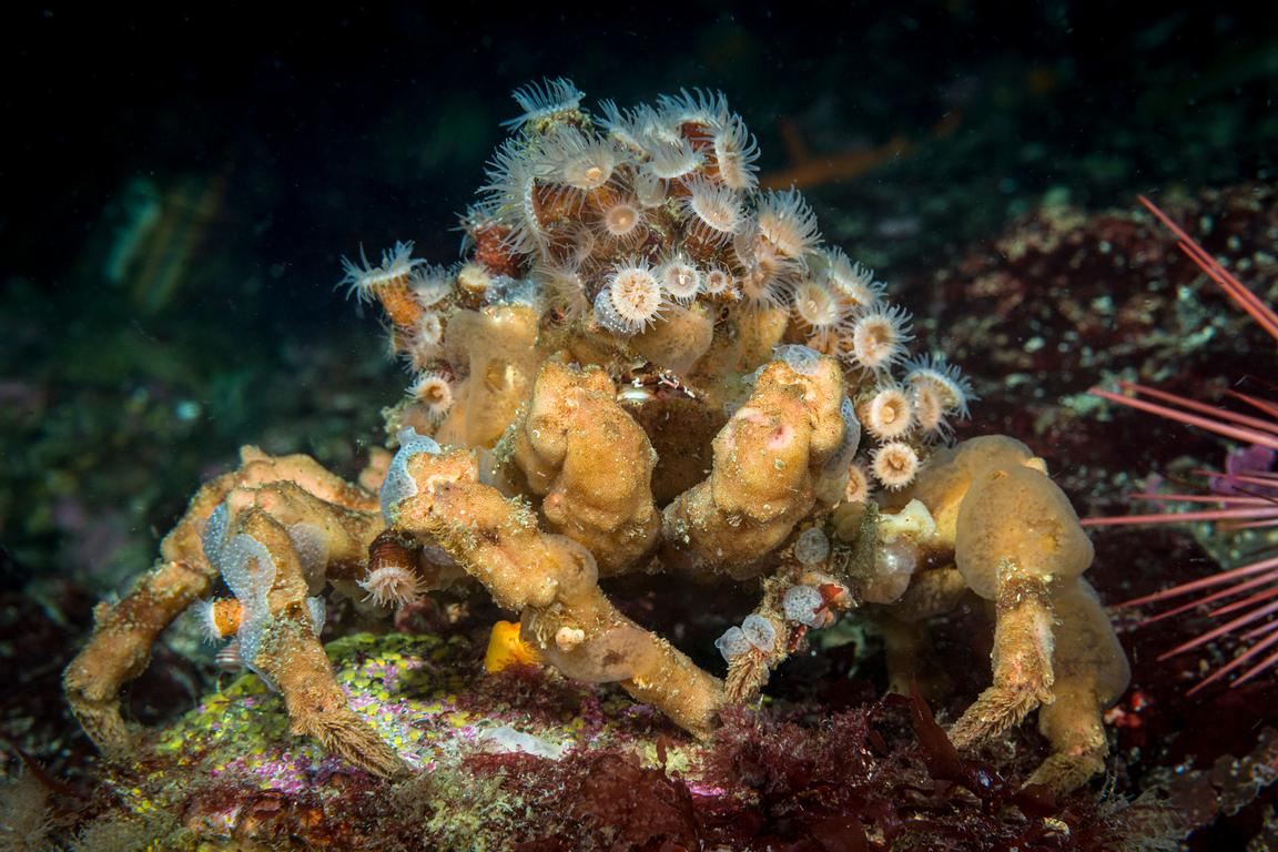 A large Graceful Decorator Crab, Oregonia gracilis, with a covering of zoanthids.