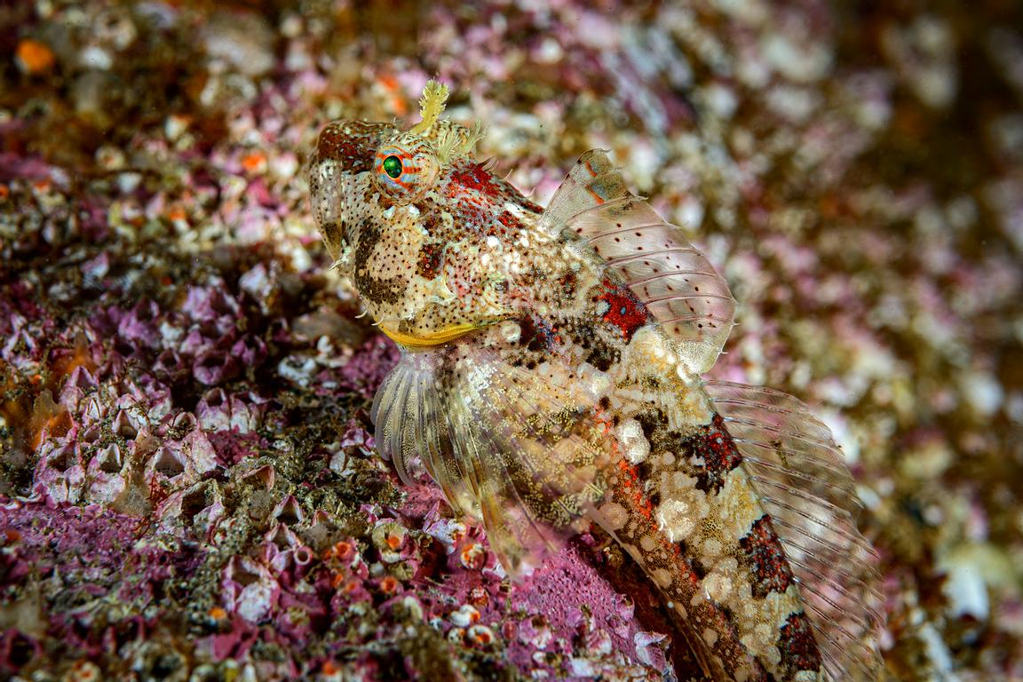 With a patterned colour the Scalyhead Sculpin is camoflaged against the substrate of barnacles and coraline algae.