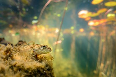 Prickly Sculpin, Cottus asper, resting on a log in a pond.