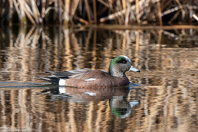 Wigeon at Blackbird Pond
