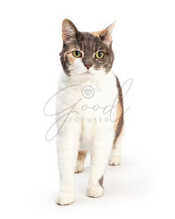 Domestic Shorthair Tricolor Cat