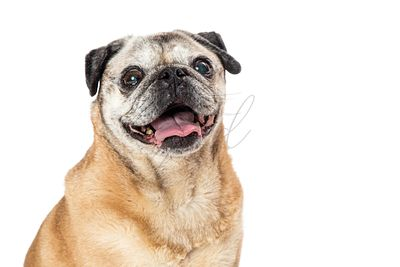 Joyful Pug Dog Smiling Closeup