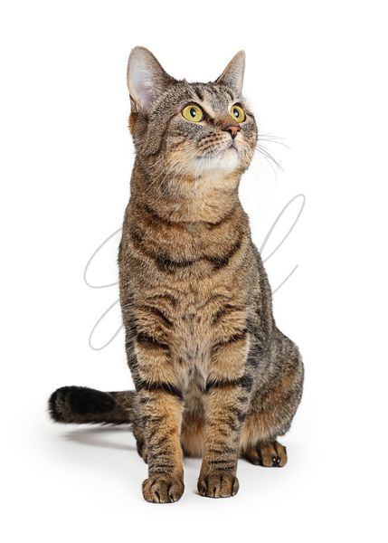 Brown Tabby Cat Sitting Looking Up