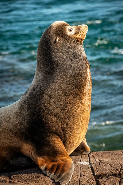 Big male Callifornia Sea Lion, Zalophus californianus.