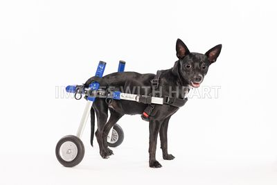 Cute handicapped black & white chihuahua