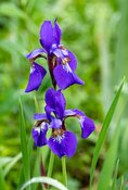Siberian_Iris-5349_May_10_2019_NAT_WHITE