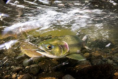 Pink Salmon Spawning sequence 1-03
