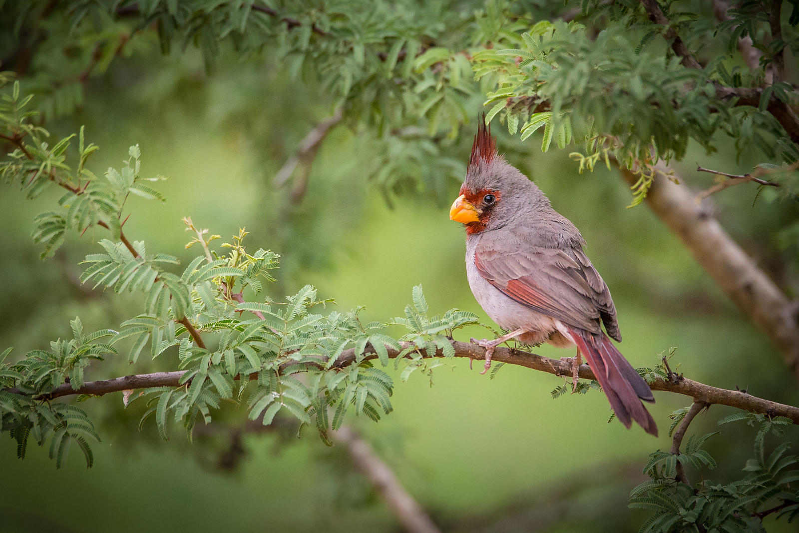 Pyrrhuloxia in Green Trees