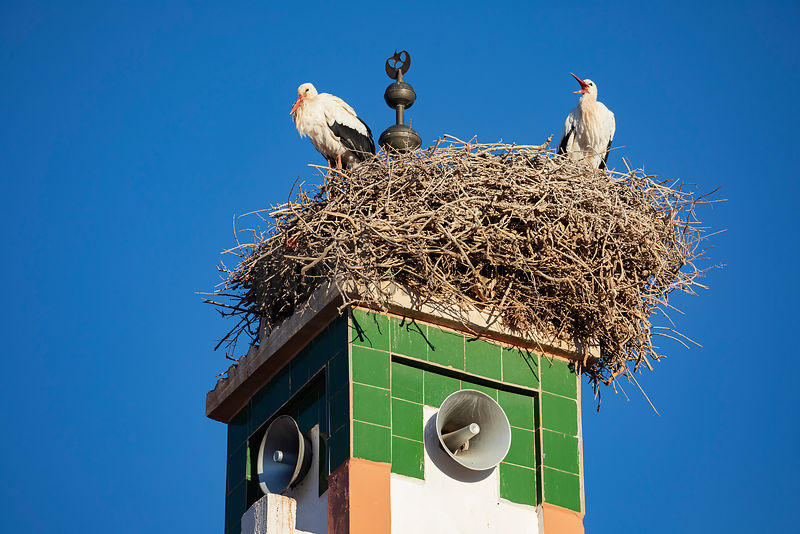 European Storks Nesting on top of a Minaret in Ait Benhaddou