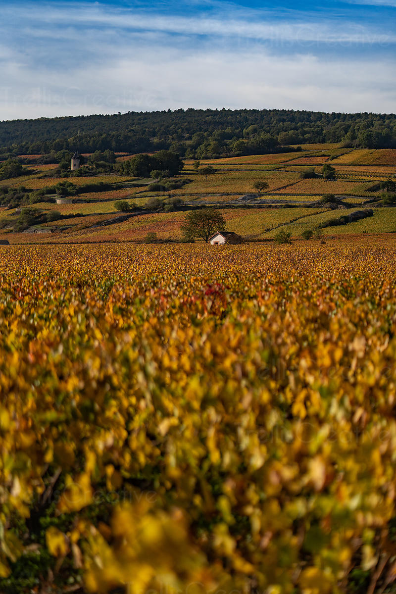 Beautiful vineyards and wineries in Cote de Beaune, Burgundy, France in autumn