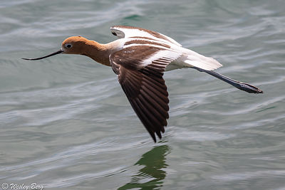 Avocet Flying Low Across the Water